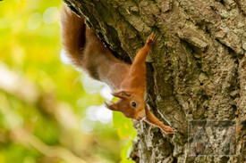 Red Squirrel at Escot