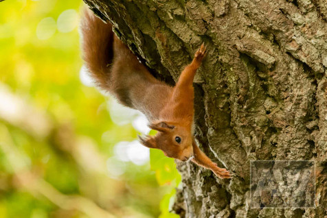 Red Squirrel at Escot