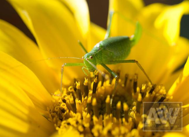 Grass hopper and sunflower