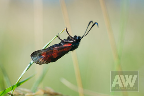 Six-spot Burnet moth in Sidmouth.JPG