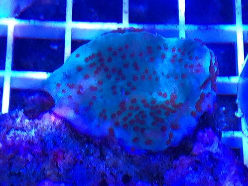 Purple Rim Red Polyp Montipora Danae