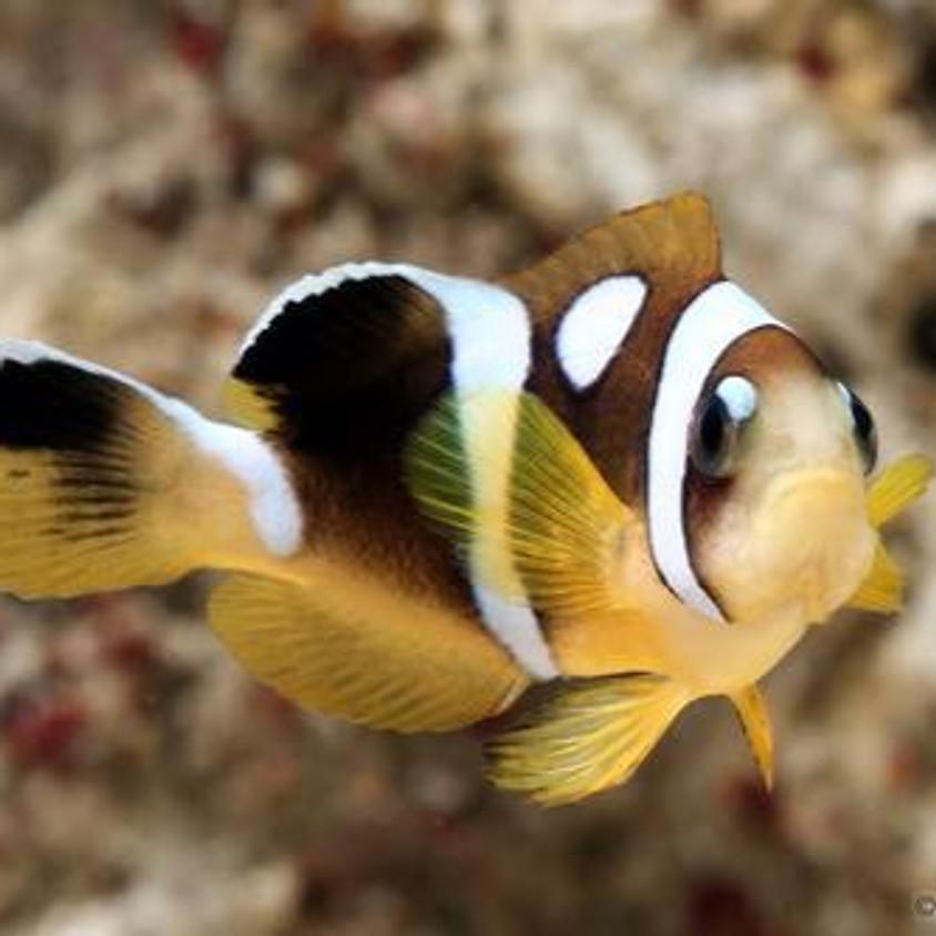 Spotcinctus Clownfish Fry