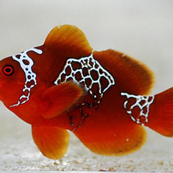 Lightning Maroon Clownfish Hatch