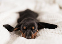 Puppy asleep in bed