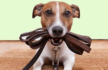 Dog holding lead in jaws readt to go for a walk
