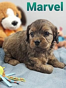 Cockapoo Puppy