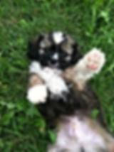 cavapoo puppy