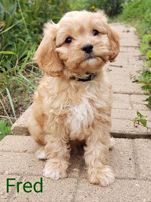 Cavpoo puppy for sale Wisconsin Minnesota