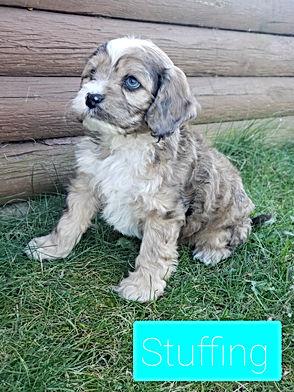 cockapoo puppy for sale