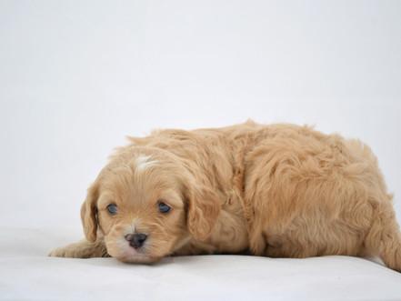 *SOLD* Sophie's Cavapoo Pups