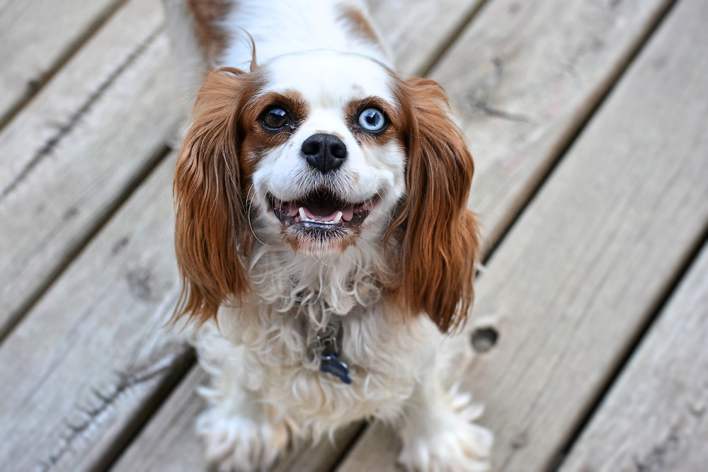 Bonnie is a rare Cavalier with one blue eye. She is about 22 pounds and is a great mama to her pups.