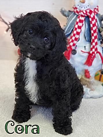 Cavapoo Puppy Wisconsin Minnesota
