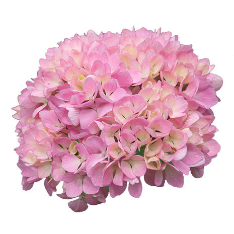 Magic Pink Select Hydrangea