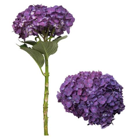 Purple Designer Hydrangea