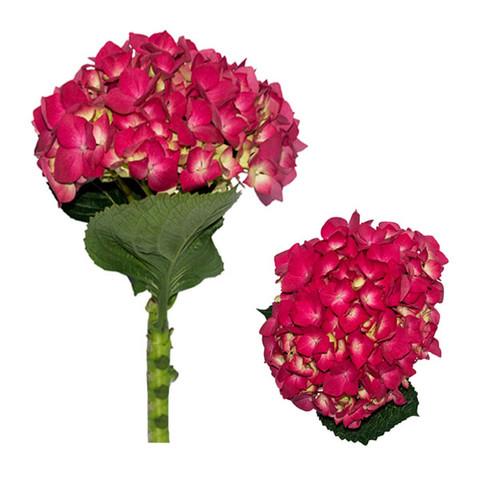 Hot Pink Jumbo Hydrangea