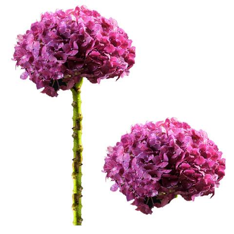 Raspberry Select Hydrangea