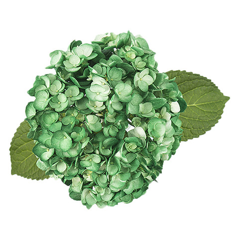 Airbrushed Forest Green Hydrangea