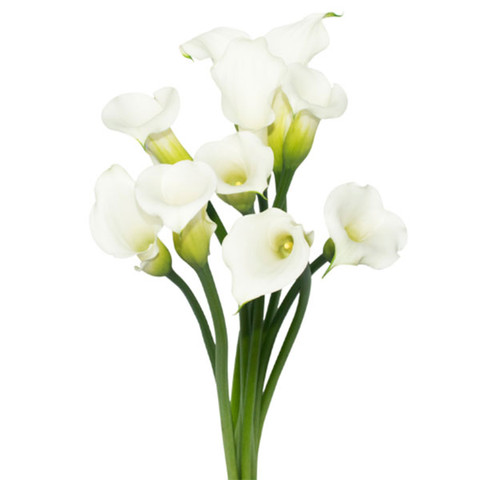 Large White Open Cut Callas