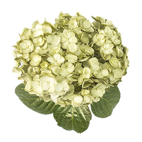 Airbrushed Golden Alloy Hydrangea