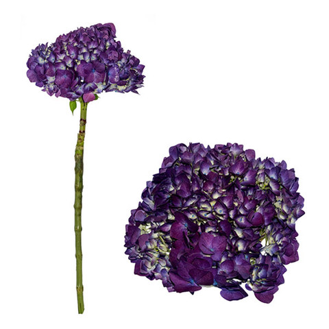 Purple Select Hydrangea