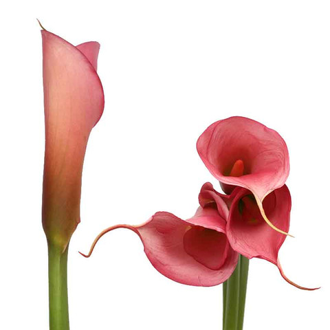 Pale Pink Airbrushed Calla