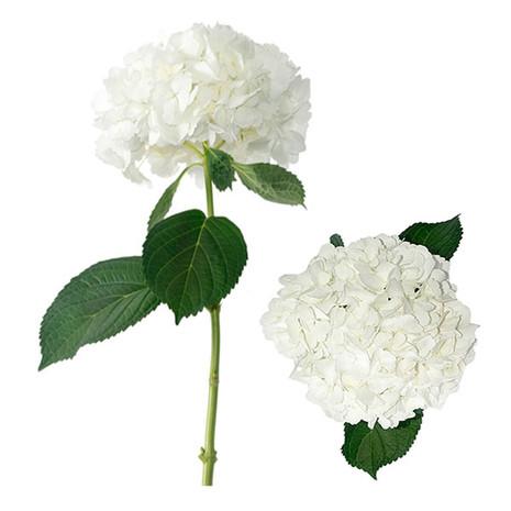 White Jumbo Hydrangea