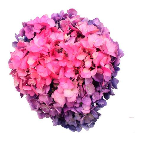 Airbrushed Purple Pink Hydrangea