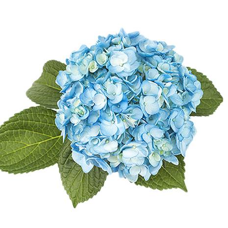 Airbrushed Aqua Blue Hydrangea