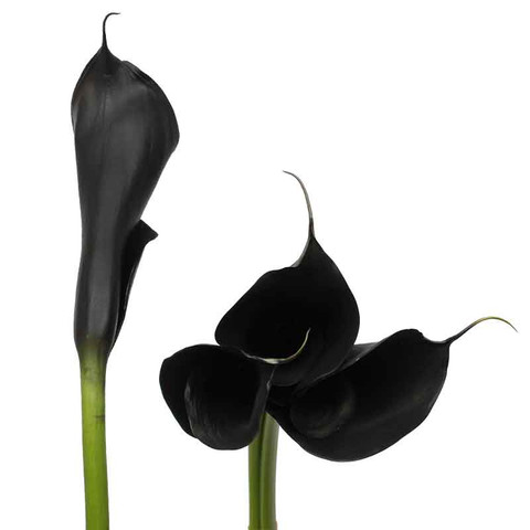 Black Airbrushed Calla