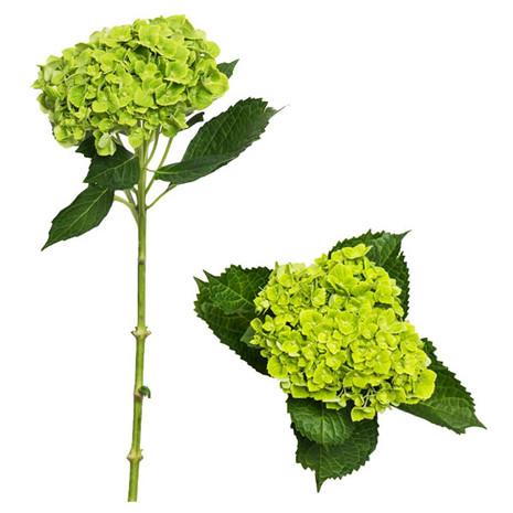 Green Gardens Select Hydrangeas