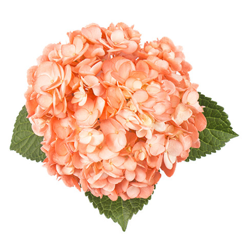 Airbrushed Coral Hydrangea