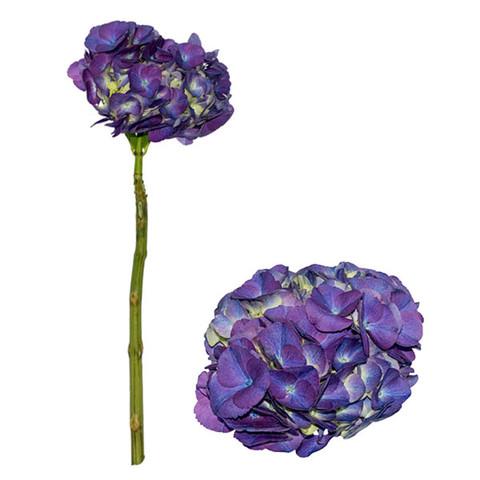 Lavender Select Hydrangea