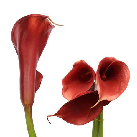 Terracota Airbrushed Calla