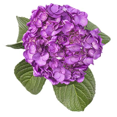 Airbrushed Purple Hydrangea