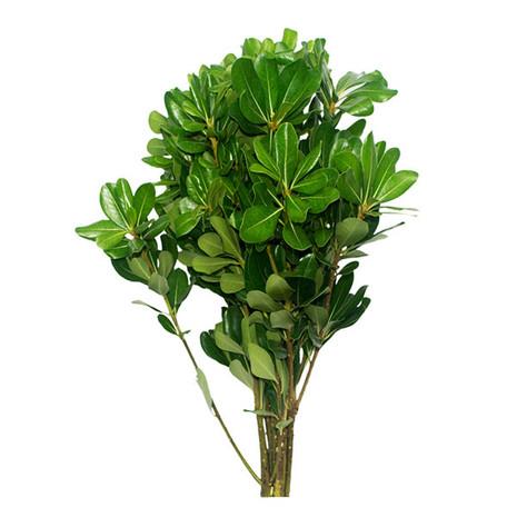 Pittosporum Green Bunches