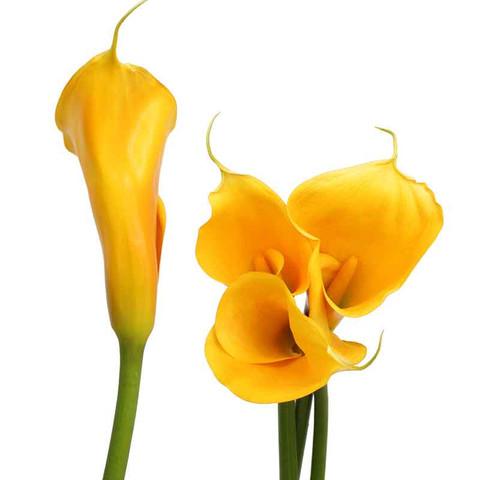 Yellow Airbrushed Calla