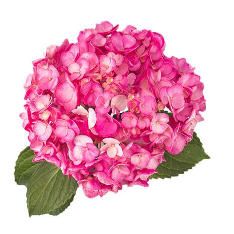 Airbrushed Rose Pink Hydrangea