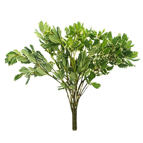 Pittosporum Green Variegated