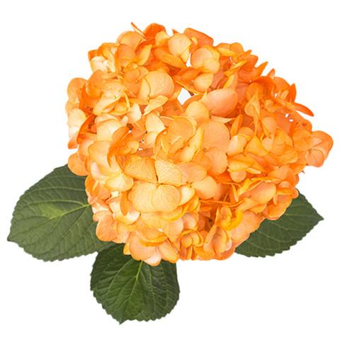 Airbrushed Orange Hydrangea