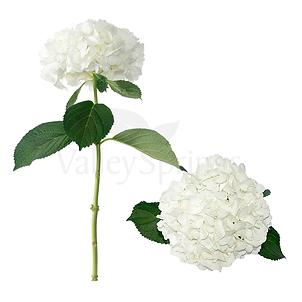 Valley springs flowers hydrangeas jumbo white mightylinksfo