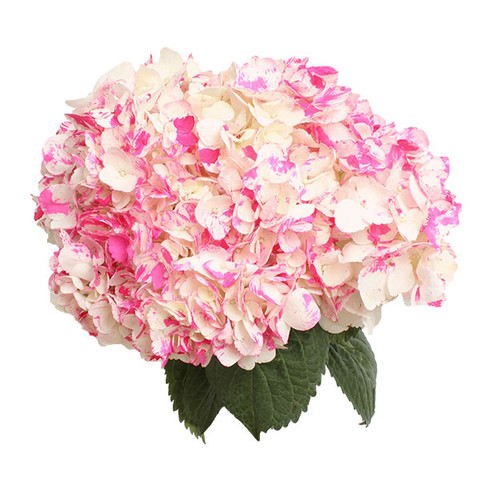 Airbrushed Pink Tips Hydrangea