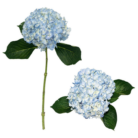 Blue Designer Hydrangea