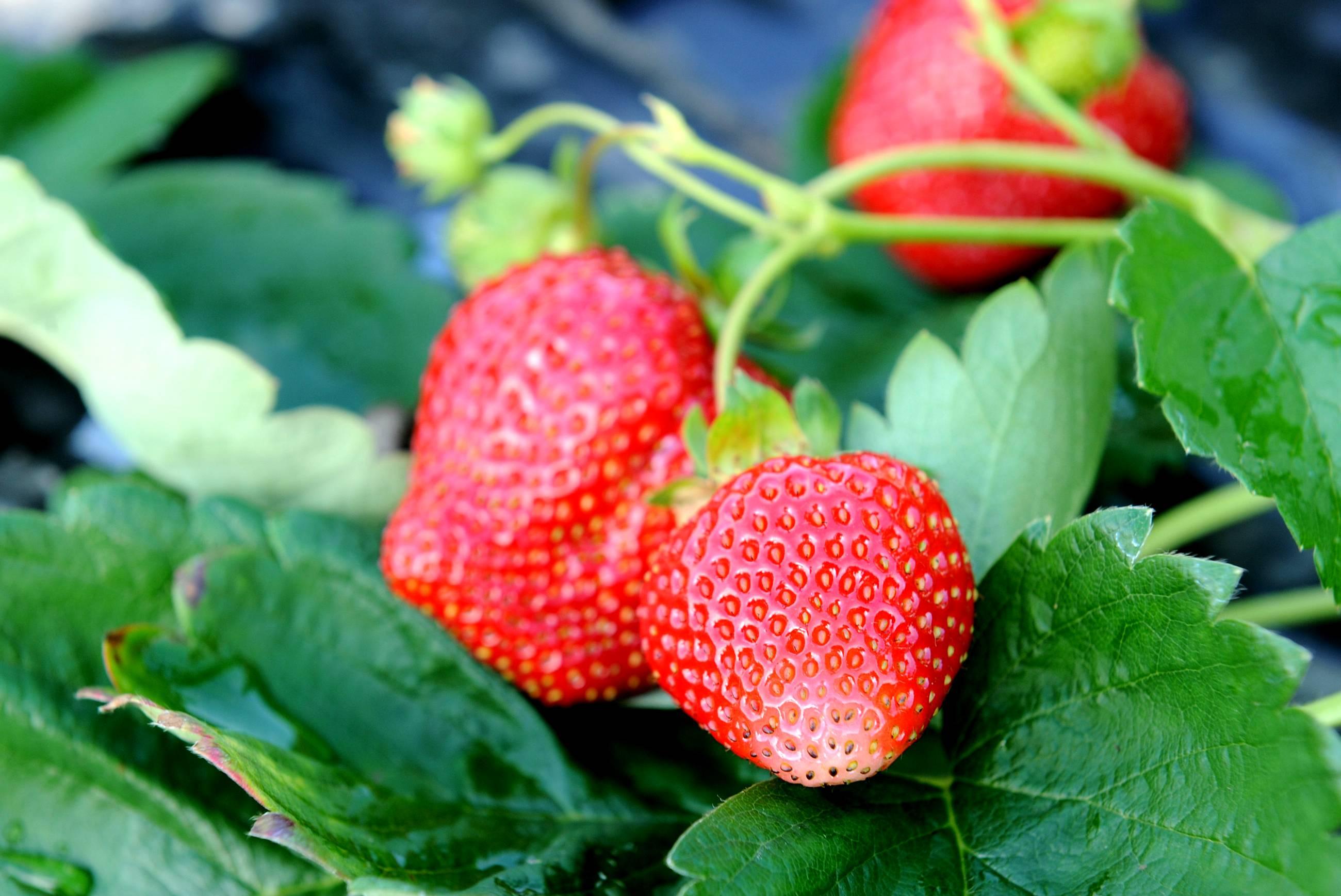 Les fraises du Périgord