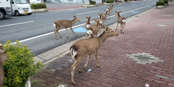 Animais selvagens ocupam cidades em quarentena pelo mundo