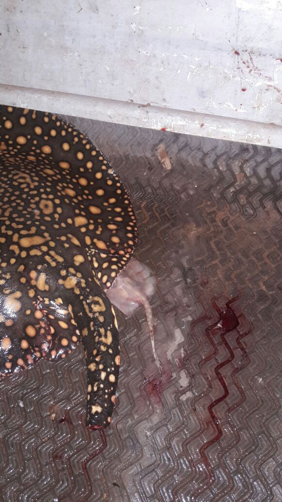 Pesca inusitada de arraia que comeu a isca viva (lambari)