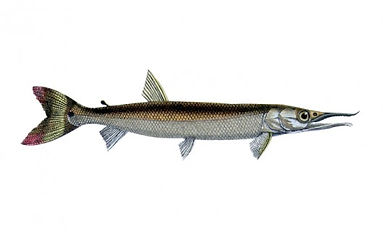 Bicuda