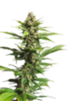 Award winning strains