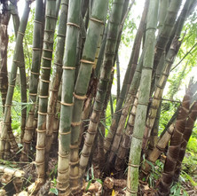 Bamboo Plantation and Harvesting