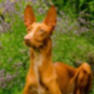 Faraonský pes Harmon
