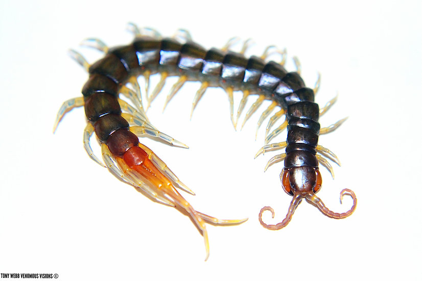 Rhysida longipes - minor blue leg centipede